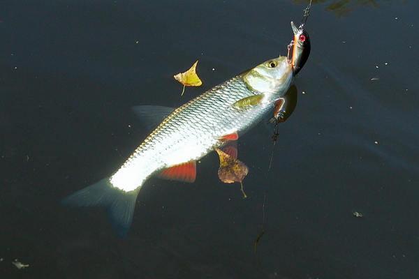 Ловля язя - FishingWiki