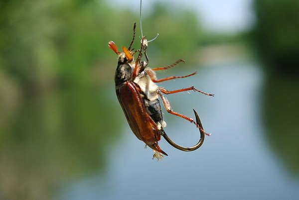 Один из способов насадки майского жука для ловли голавля