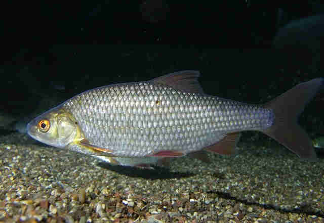прикормка для рыбалки из перловки гороха пшена