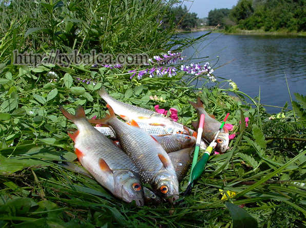 Плотва. Хороша рыбалка!