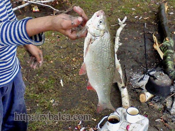Язь. Рыболовные истории