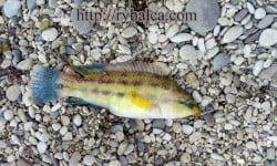 зеленушка рыба