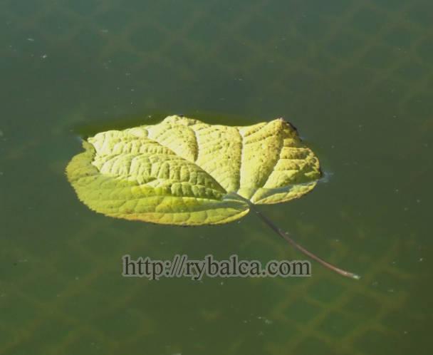 лист с дерева на воде